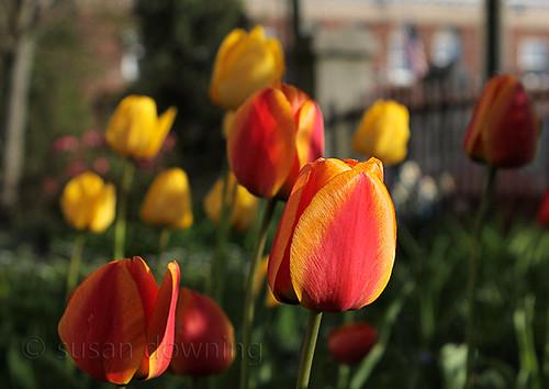 Side Garden Tulips