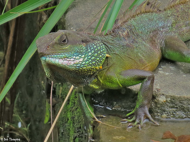 chinese water dragon adult pictures jpg 1500x1000