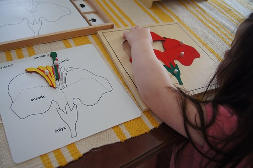 Parts of a Flower (Photo from Making Montessori Ours)