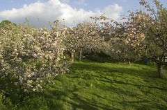 HolderApple Trees in Bloom