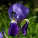 Bearded Iris - Photo (c) Bob Gutowski, some rights reserved (CC BY-NC-SA)