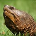 <p>Common Snapping Turtle<br /> Brooklyn<br /> NY<br /> <br /> I`ll stick with the herpetology for a little while.  And no, I don`t know for certain that this turtle is 20 years old...it`s a wild turtle. And pretty big, at that.</p>
