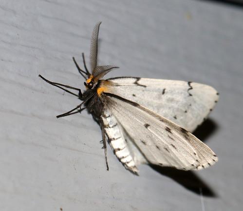 lepidoptera moth upperpeninsula michigan chaindottedgeometer cingiliacatenaria