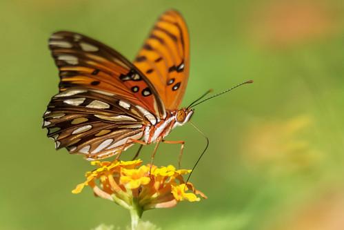 insect gulffritillarybutterflyagraulisvanillae butterfly southcarolinabotanicalgardens