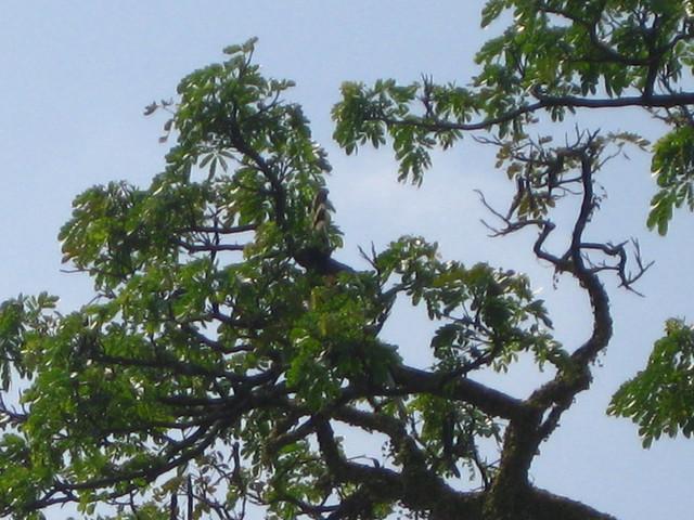 Taiping Lake garden hornbill l IMG_5931