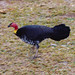 Small photo of Australian Brush Turkey (Alectura lathami)