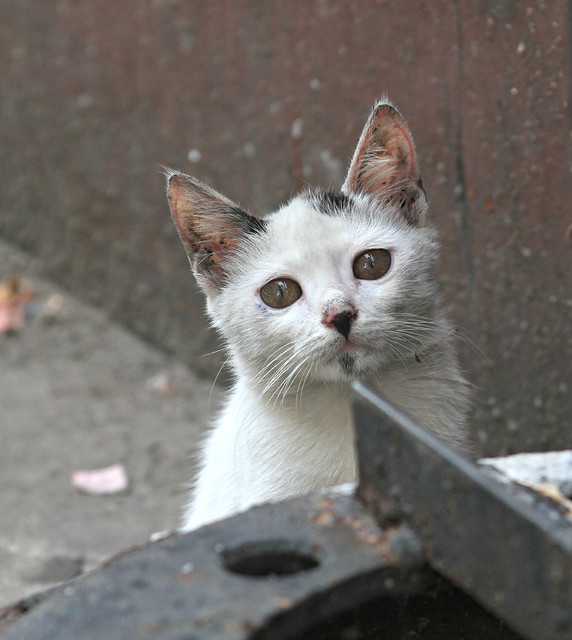 Advantage Fleas Cats Side Effects