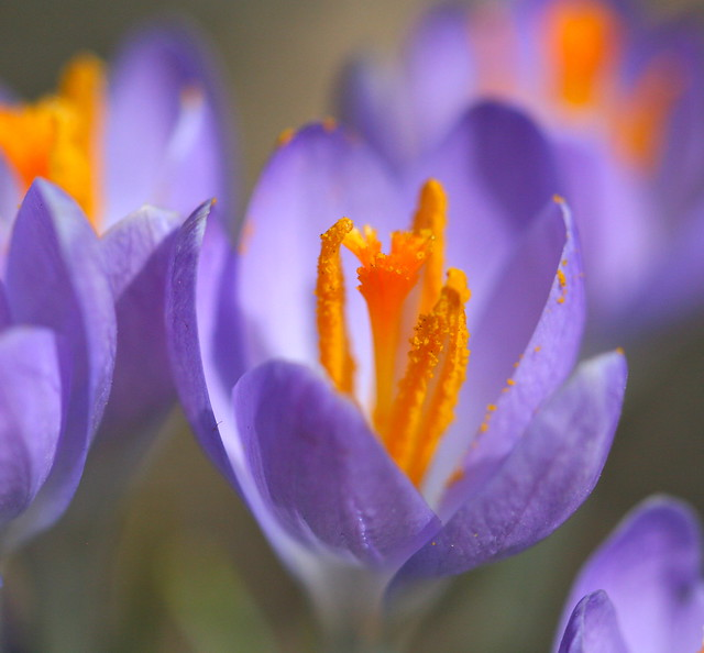 Crocus in Chicago's Andersonville neighborhood. Credit: Bill Guerriero