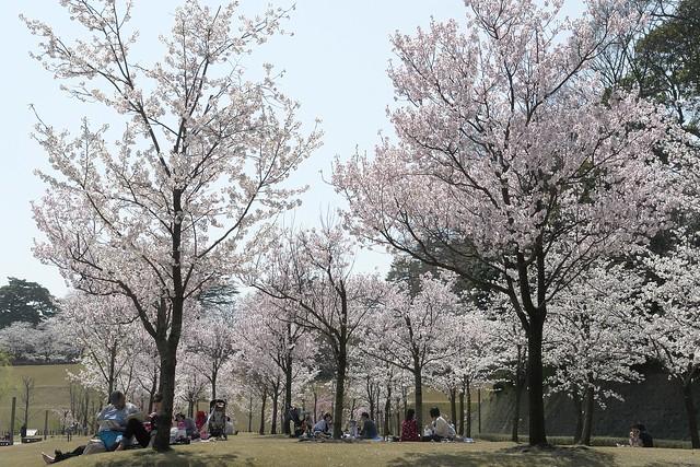 春始めました11 金沢城趾公園の桜