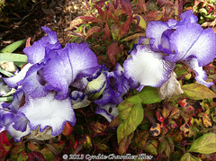 purple-fringed iris