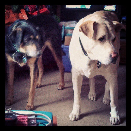 My boys watching the vacuum... Zeus' look is priceless! #dogstagram #love #dogs #adoptdontshop