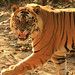 Tiger, Bandhavgarh (Himanshu Rathore)