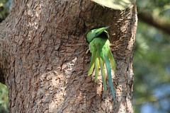 Ring-necked Parakeet investigating nest hole in Kew Gardens (3)