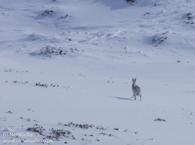 Mountain Hare-2