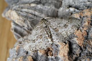 Engrailed (Ectropis bistortata)