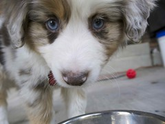 puppy(0.0), miniature australian shepherd(0.0), border collie(1.0), dog breed(1.0), animal(1.0), kooikerhondje(1.0), dog(1.0), pet(1.0), mammal(1.0), australian shepherd(1.0),