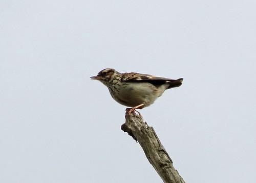 Woodlark - Lullula arborea