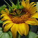 SUNFLOWER by 19crazyhorse82