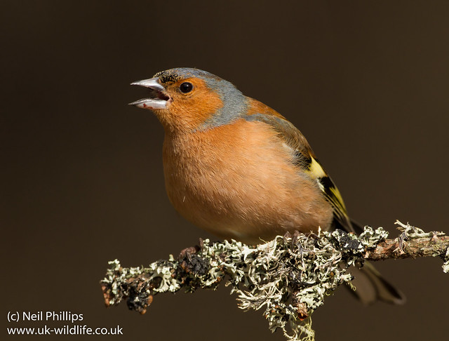 chaffinch threat call