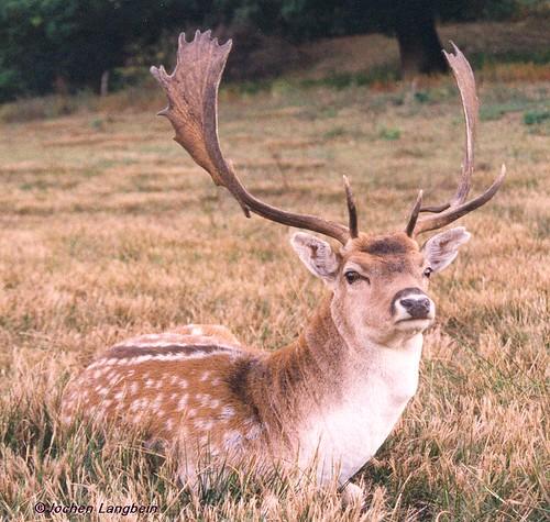 Fallow Buck Sitting (Dama dama)