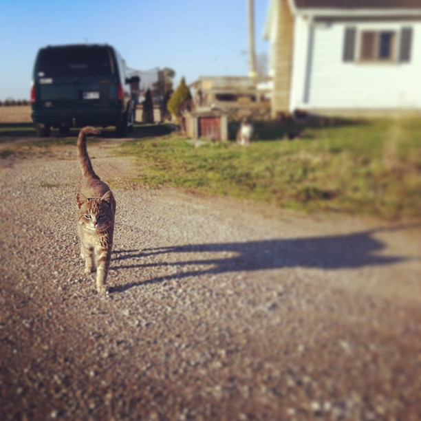 He's got that 'Yeah, I'm all that and a sack of potatoes.' strut going on. :D #kittiesarehilarious #barncat #cmig365apr