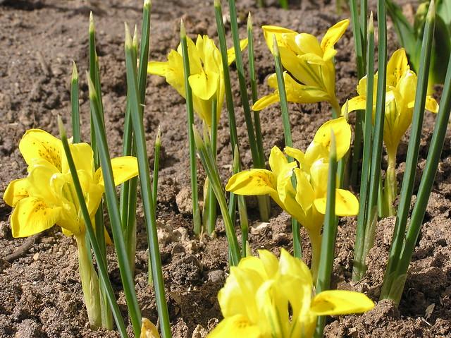 Iris danfrodiae