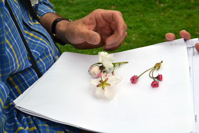 Many characteristics can be used to identify particular cultivars–size, color, and shape of the the flowers, the number of petals or rows of petals per blossom, and fragrance. Here, Aiello is looking at different sepals, which may be smooth or serrated. Photo by Elizabeth Peters.
