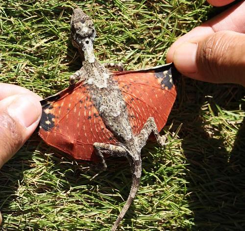 flying-tiny-dragon-lizard-avatar-photo001.jpg.644x0_q100_crop-smart