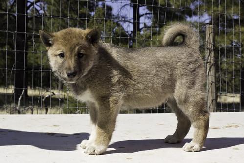 Ike-Kilbe-Pup3-Male(Day 40)-2
