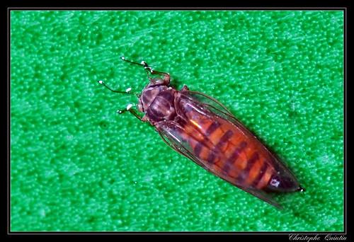 Cacopsylla sp. (Cacopsylla melanoneura/affinis)