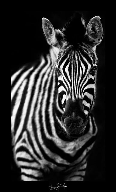 zebre zebra black and white noir et blanc