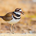 Killdeer Calling