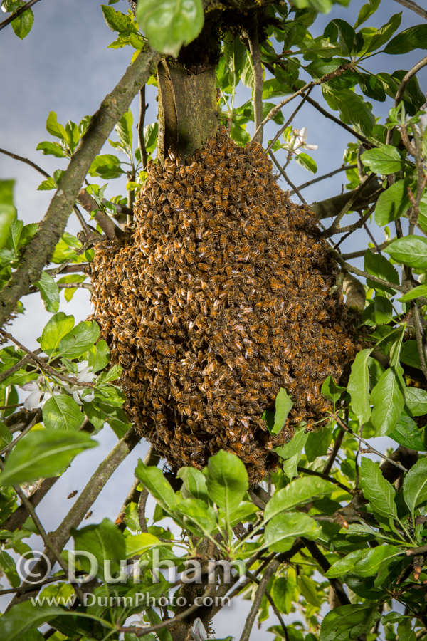 Ball of Swarming Bees
