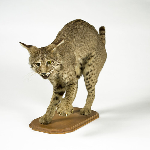 PHOTO CREDIT: Photograph courtesy of the Louisiana State University Museum of Natural Science CAPTION: Lynx rufus (bobcat); probably 20th century; central Louisiana; courtesy of the Louisiana State University Museum of Natural Science
