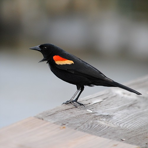 Red Winged Blackbird's black ruff sticks out from its body by jungle mama