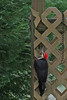 Day 122: Pileated Woodpecker Noisily Pecks Outside My Window