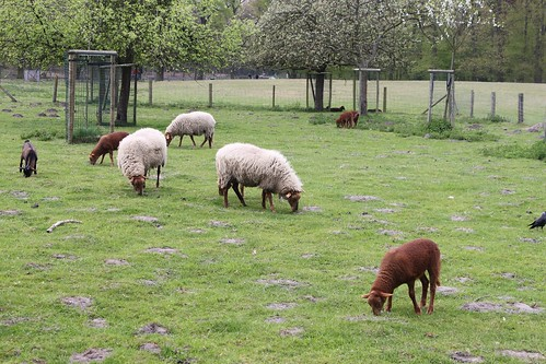 sheep in field eating grass