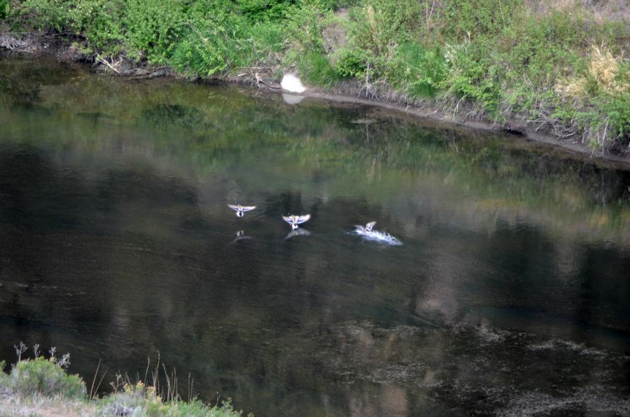 DSC_0712_ducks