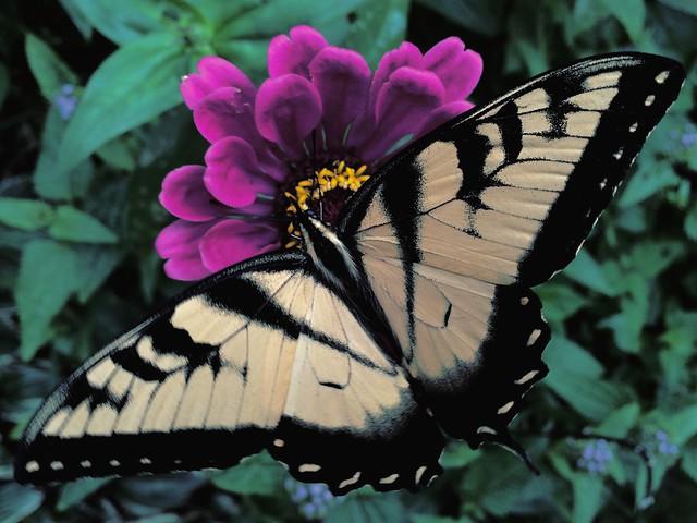Male Eastern Tiger Swallowtail #butterfly #butterflies #easterntigerswallowtail #zinnia #zinnias #garden #patiogarden #flowers
