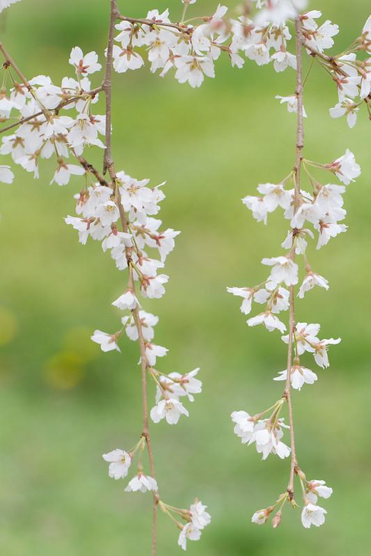 Sakura in Kyoto 11