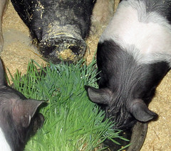 Pigs eating hydroponic fodder