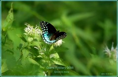 Diana Fritillary Mount Magazine Arkansas butterfly photography by Ron Birrell; DSC_0698