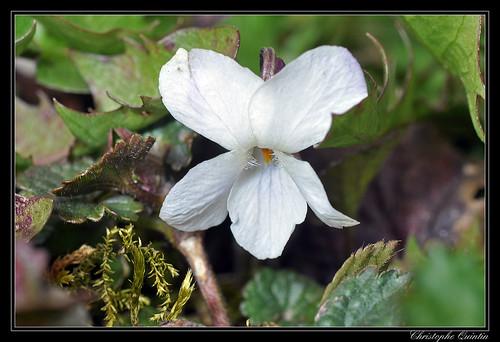 Violette blanche (Viola alba)