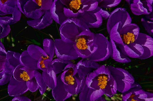 Purple Crocuses 4941