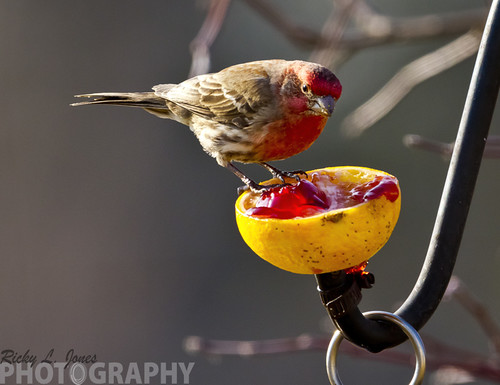 Male House Finch by Ricky L. Jones Photography