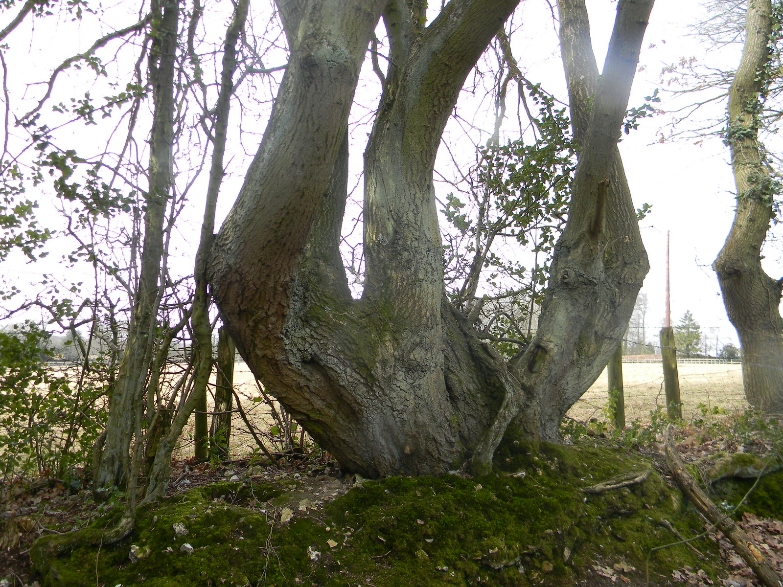 gnarled tree Wendover Circular via Lee