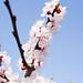 Apricot Blossom Pillar