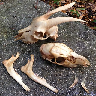 BONELUST BONE PROCESSING PROGRESS: This goat skull & deer skull/mandible cleaned up nicely after a few weeks in maceration tubs. The deer unfortunately is a bit fragile & coming apart. I think it is because it is a juvenile or struck on the snout by a car