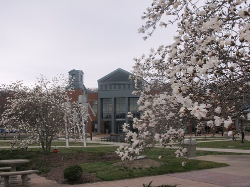 Tunxis magnolias by Coyoty