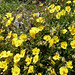 Common Rockrose (Mark Galliott)